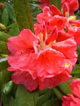 Rhododendron 'Tally Ho'